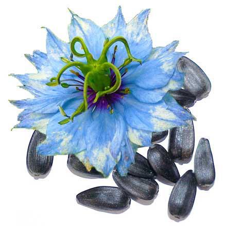 ulje crnog kima gdje kupiti cijena kapsule crnog kima primjena doziranje nuspojave za djecu iskustva