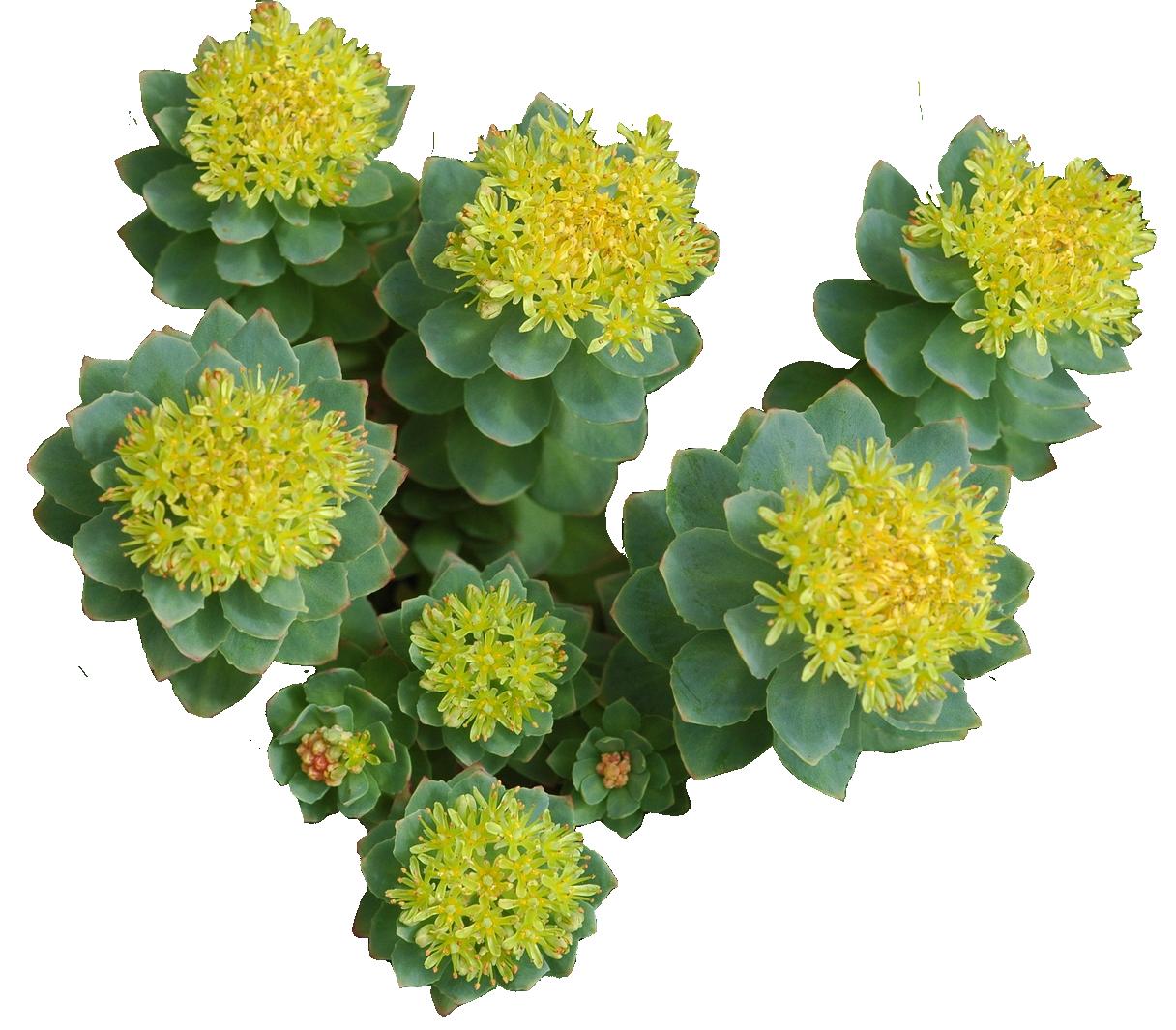 Rhodiola rosea kapsule. Rodiola kao lijek. Rodiola, ružičasti žednjak, biljka je adaptogen, ali osim što pomaže prilagodbi na stres, ona je antidepresiv, klinički ispitan kod lakših do srednje teških depresija. Jedna je od najpopularnijih među biljkama koje povećavaju mentalne performanse, odnosno učenje, te je stoga iznimno popularna kod studenata u Sjevernoj Americi. Uz šafran, brahmi i gotu kolu, jedna je od najpoznatijih neuroregeneracijskih biljaka nakon trauma mozga.