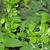 gymnema sylvestre ili srebrna svilenica kao lijek za dijabetes i pomoć kod mršavljenja